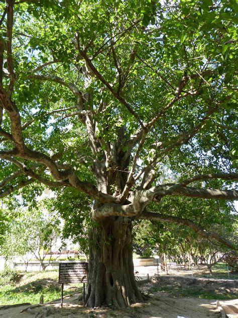 bodhi tree images bodhi tree lidia the explorer