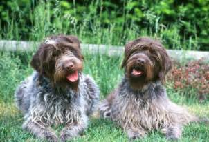 german wirehaired pointing griffon shedding wired haired breed of breeds picture