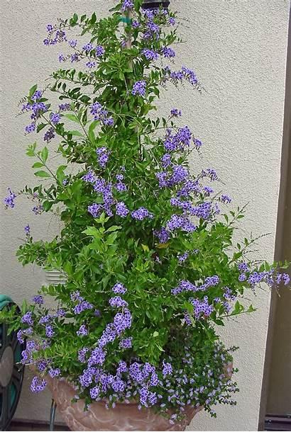 Duranta Plant Plants Garden Gardens Container Flowers