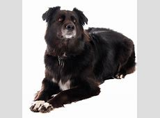 A Complete Guide To The Border Collie German Shepherd Mix