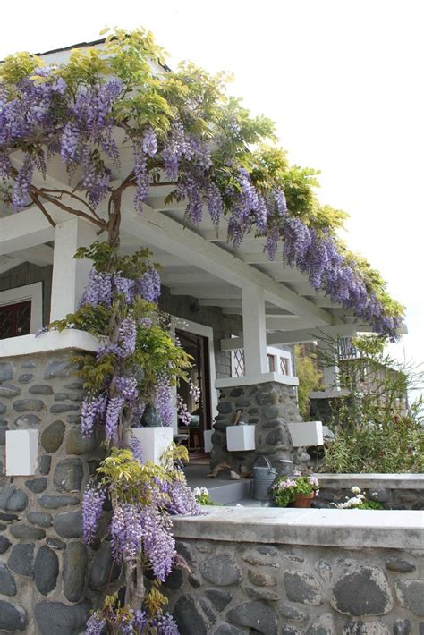 wisteria roots near house the 25 best wisteria trellis ideas on pinterest wisteria pergola wisteria arbor and climbing
