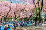 東京櫻花滿開! 上野公園出現「櫻花隧道」│TVBS新聞網