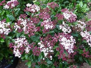 Laurier Tin : viburnum tinus gwenlian laurier tin gwenlian laurier ~ Mglfilm.com Idées de Décoration