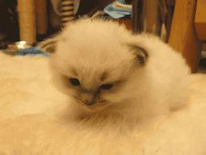 Tired White Cat GIF - Find & Share on GIPHY