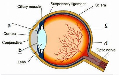 Eye Structure Biology Igcse Paper Internal Diagram