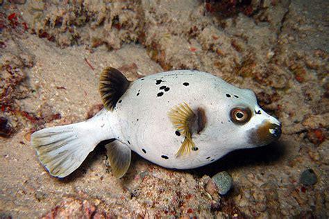 pufferfish saltwater