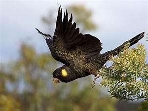 Guide to bird watching in Hobart, Tasmania - Australian ...
