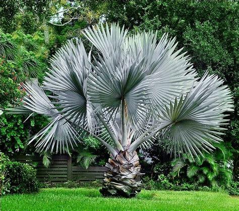 Bismarckia nobilis - A Palmeira Azul | CirculodoVerde
