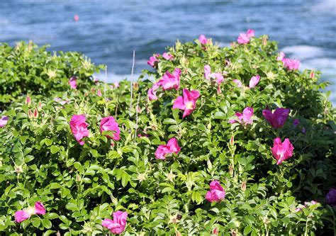 bush with flowers pink flower bush and ocean free stock photo public domain pictures