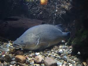 drought threatens freshwater fish abc news australian