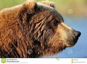 Brown Bear Profile Royalty Free Stock Photo - Image: 13353345
