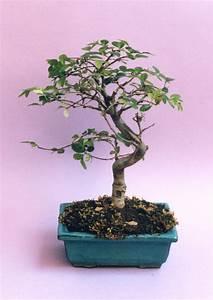 Ficus Bonsai Schneiden : bonsai richtig schneiden haus garten meister ~ Indierocktalk.com Haus und Dekorationen