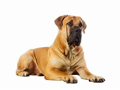 Boerboel Studio Dog Rare Zeldzame Het Zuidafrikaanse