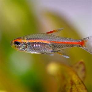 Glowlight Tetra | Flickr - Photo Sharing!