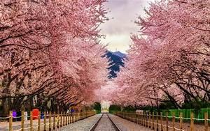 Fly to South Korea for Cherry Blossom Season for $445 ...