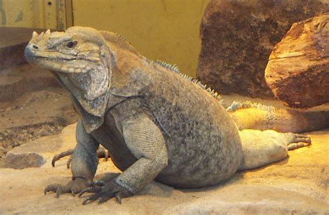 Cyclura - Wikipedia