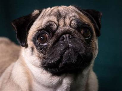 Crufts Dogs Animal Pug Faces Flat Faced