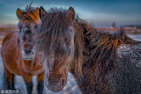 yakut horses horse cold raising stand weather winter hair temperatures cgtn pictured russia freezing