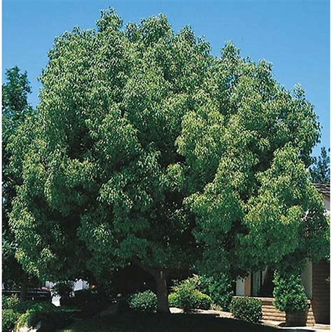 shop  gallon camphor tree   lowescom
