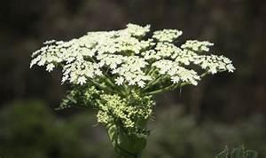 Giant hogweed: How to avoid getting a rash or severe burn ...