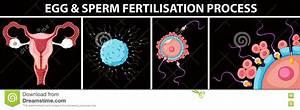 Egg And Sperm Fertilisation Process Stock Vector