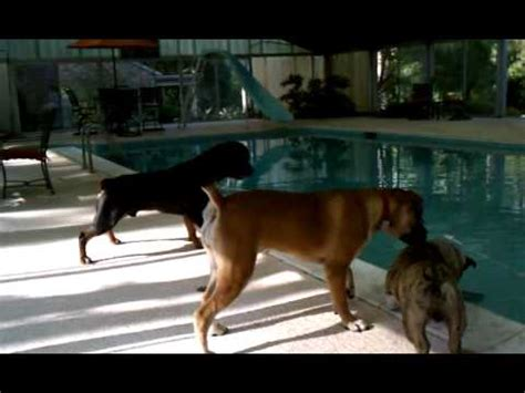 Rottweiler and Boerboel playing by the pool - YouTube