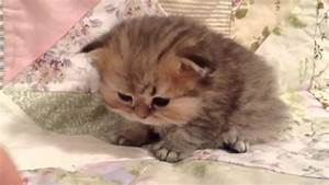 teacup munchkin kittens for sale Quotes
