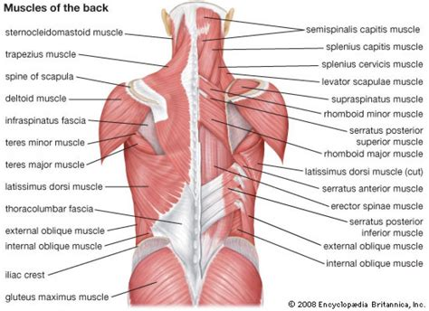 Diagram of female back muscles, find out more about diagram of female back muscles. diagram of neck and back muscles female back whole body diagram anatomy human body   Muscle ...