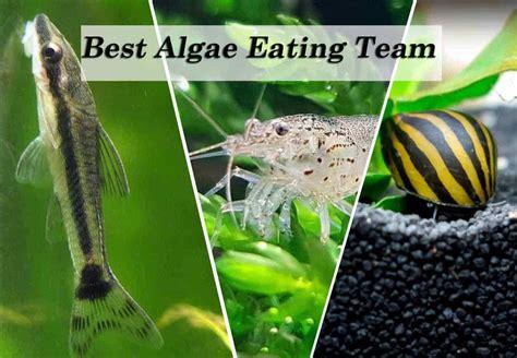 types  algae  algae eating team shrimp  snail