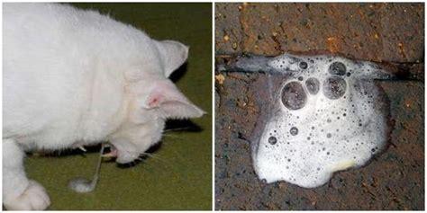 por  mi gato vomita espuma blanca causas