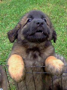 Leonberger Puppy I haw a leonberger!!! Best dogs ever ...