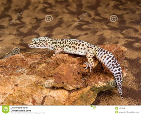 spotted gecko leopard spotted gecko stock images image 9351014