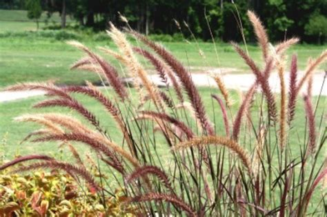 transplanting ornamental grass growing ornamental grasses thriftyfun