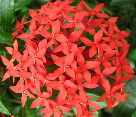 tanaman soka merah jepang red ixora bibitbungacom