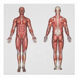 The Muscular System Unlabeled Poster