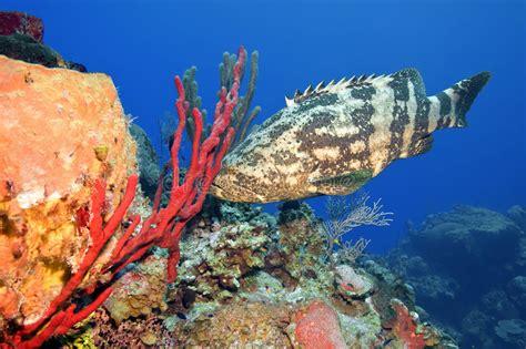 grouper goliath spanish eggs dancer fish laying clown