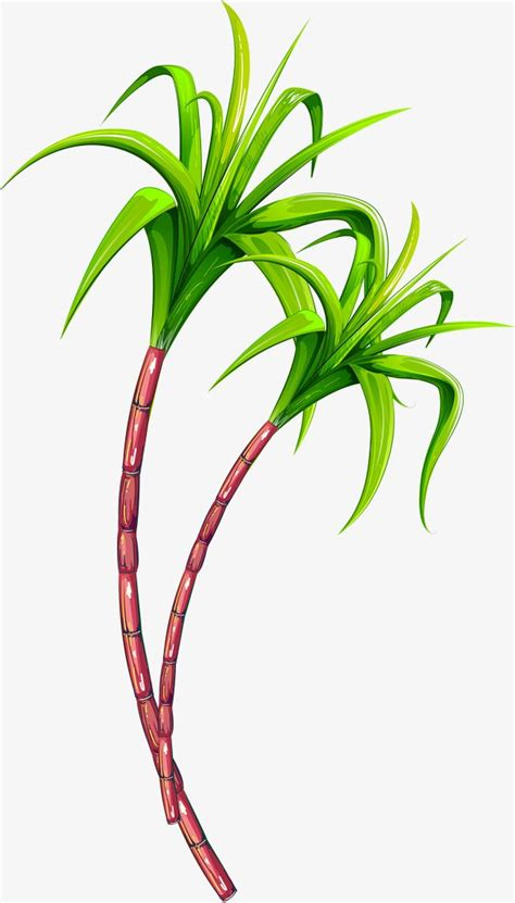cana de acucar de frutas simples verde