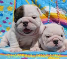 Baby English Bulldog Puppies for Sale