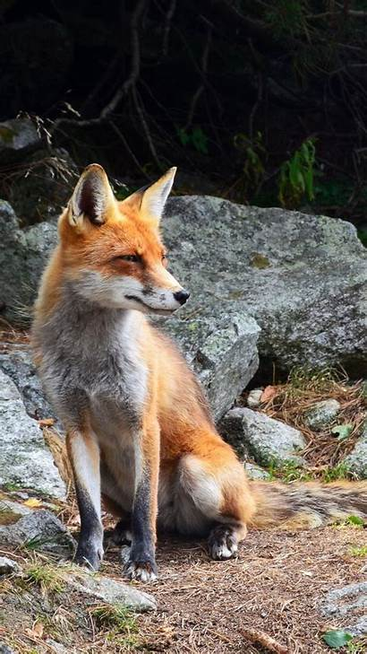 Animal Animals Fox Android Desktop Wild Backgrounds