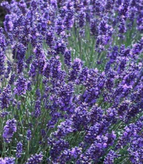 true lavender plants how to grow lavender plants