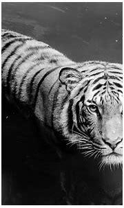Weißer Tiger Full HD Wallpaper and Hintergrund | 1920x1200 ...
