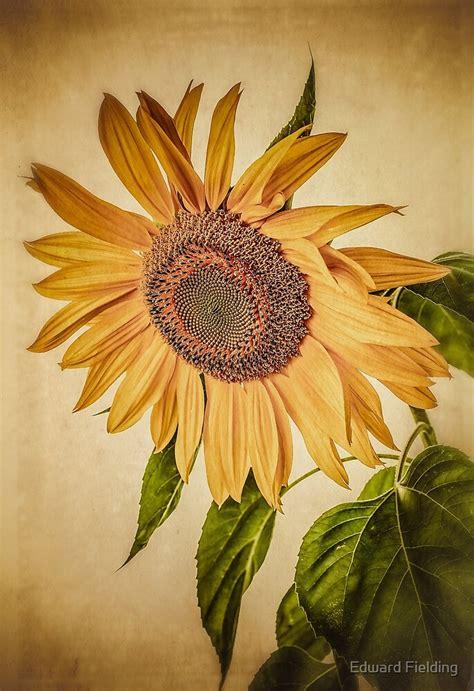 vintage sunflower  edward fielding redbubble