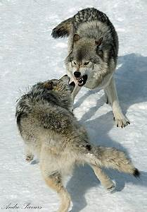The reason wolves fight each other is because... | NATURE ...