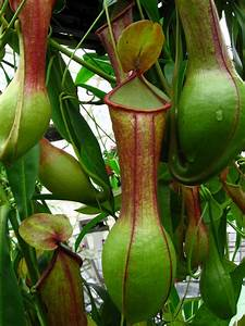File:Pitcher Plant SF Conservatory.jpg - Wikipedia
