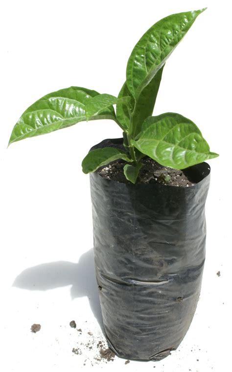 Maracuya, venta de las plantas en Ecuador - $8.00 USD - Subastas
