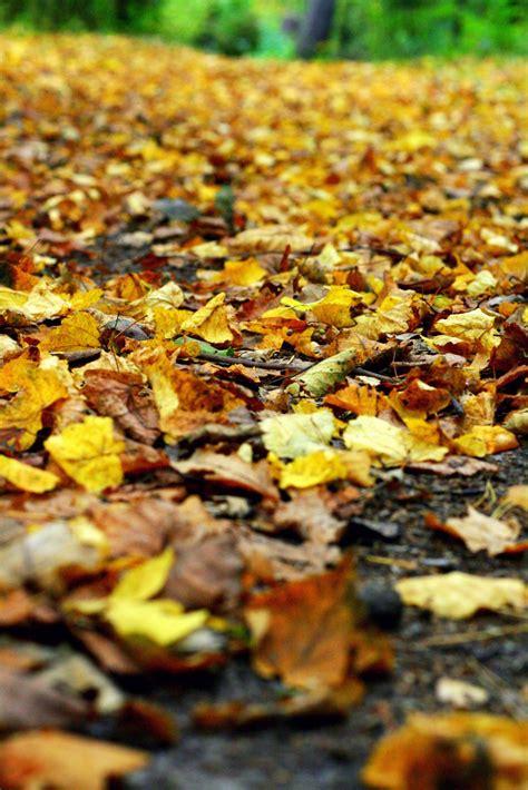 Kodėl rudenį lapai keičia spalvas ir nukrenta « Gamtininkas.lt