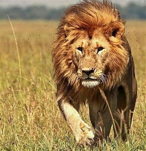 pin  lenny  lion king savage animals big cats animals