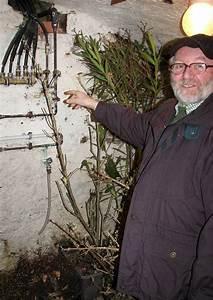 Hortensien überwintern Im Keller : berwinterung von k belpflanzen im keller 02 abutilon und oleander in absoluter dunkelheit ~ Frokenaadalensverden.com Haus und Dekorationen
