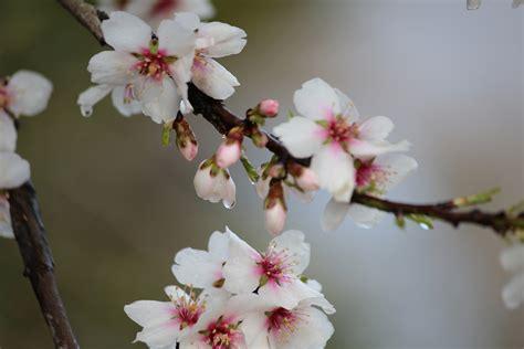 foto mandorlo in fiore fiore di mandorlo foto immagini piante fiori e funghi