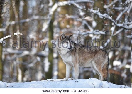 Alpha Wolf in Snow Head